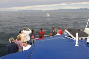 Tourists gather at the bow of a whale watching boat to catch a glimpse of a Sperm Whale off Kaikoura on the South Island of New Zealand.