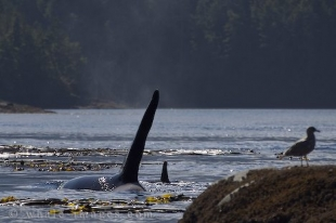 While on a Killer Whale watching tour off Northern Vancouver Island in British Columbia in Canada two whales play games amongst the kelp.