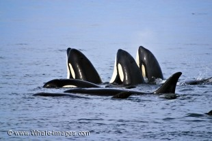 Orca Whales spyhopping - Whale Watching on Superpod Day