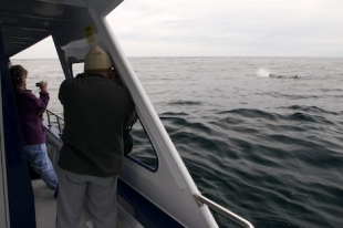 Take a tour with Whale Watch Kaikoura on the South Island and enjoy the fresh air of New Zealand while watching the magnificent marine mammals known as Sperm Whales.