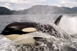 Surfing Killer Whale, beautiful sight of Wild Animals on a thrilling whale watching tour in British Columbia, Canada.