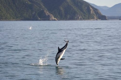 Dusky Dolphin playing of Kaikoura Coast