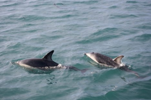 Dusky Dolphins Close Encounter Kaikoura New Zealand