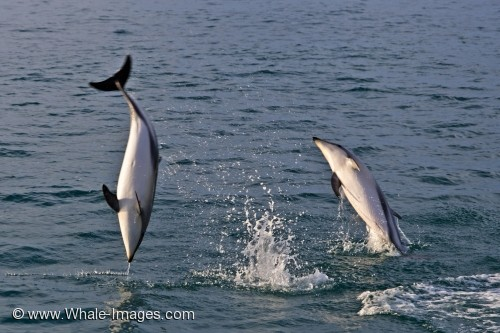 image of Dusky Dolphins Picture