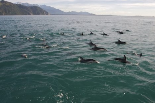Dusky Dolphins Surfing Encounter Kaikoura New Zealand