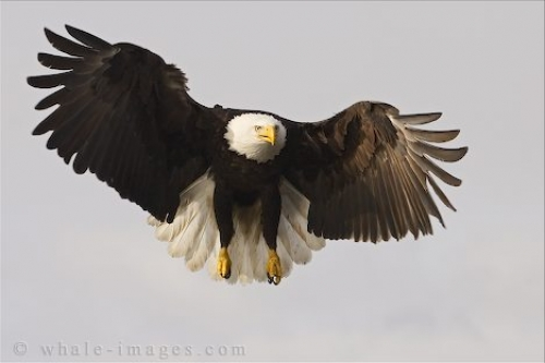 Flying Bald Eagle Photo Homer Alaska