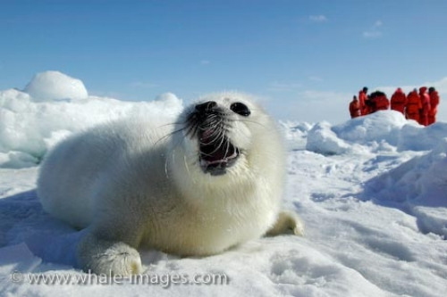 Ice To Protect Seals Picture Humane Society Gulf Of St Lawrence