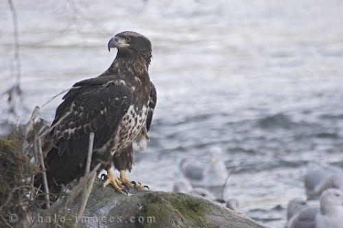 Juvenile Bald Eagle Photo