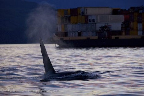 Killer Whale Boat Traffic Northern Vancouver Island