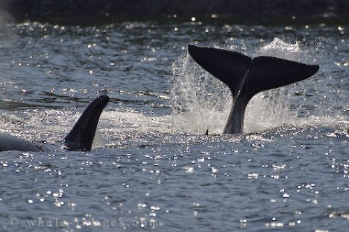 Killer Whale Tail Display Northern Vancouver Island