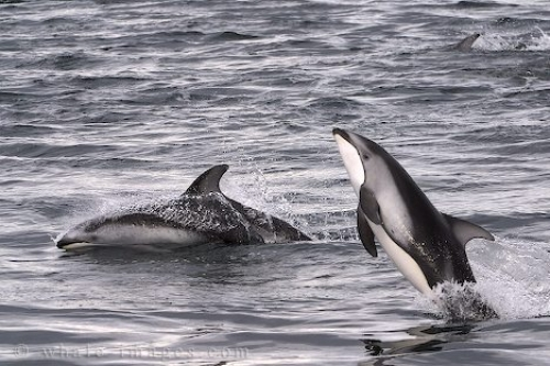 Photo of playful marine life, two playing pacific white sided dolphins.