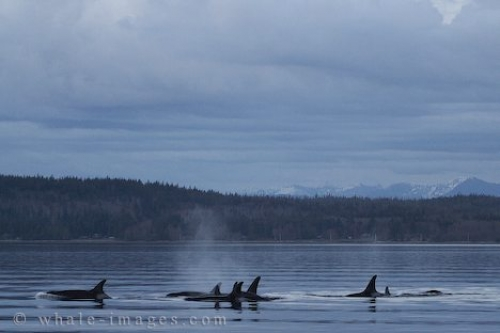 Offshore Killer Whales