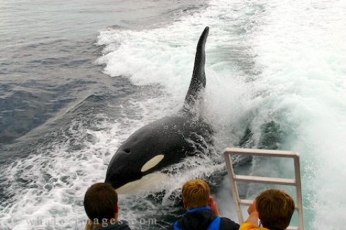 Orca Whale Surfing