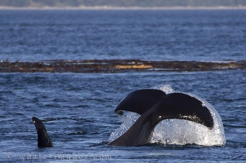 Orca Whale Tail