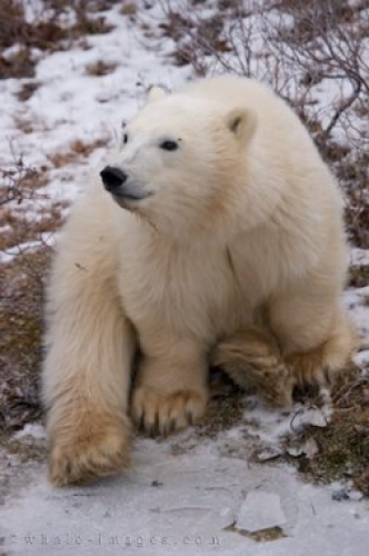 Polar Bear Cub Churchill Wildlife Management Area Manitoba