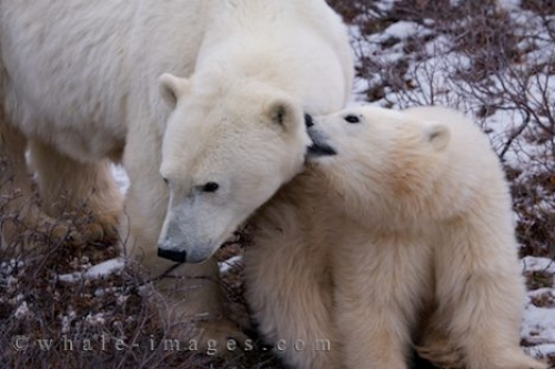Polar Bear Family Hudson Bay Churchill Manitoba