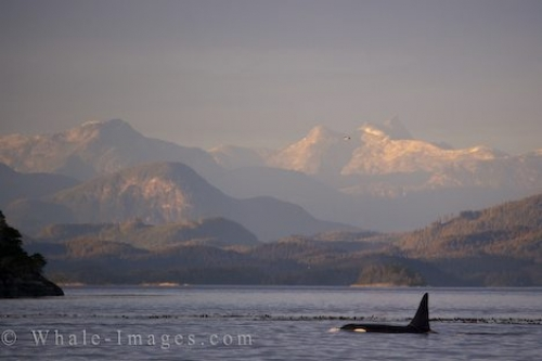 Male Orca Whale Scenic Coastal Mountains