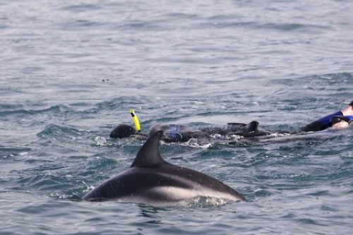 Snorkling With Dolphins Kaikoura