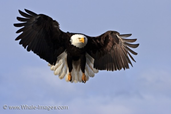 American Bald Eagle Picture