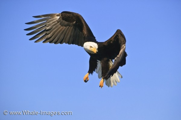Flying Bald Eagle Picture