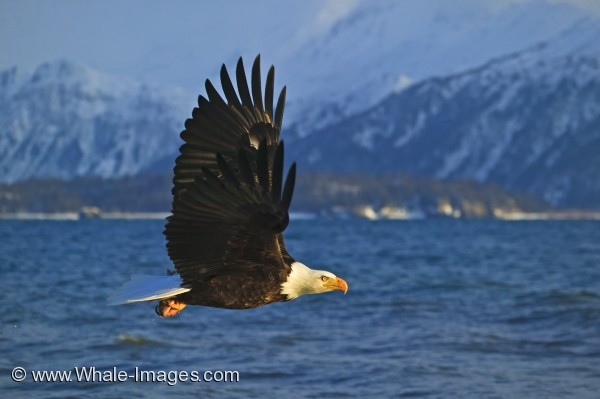 Bald Eagle Habitat Snowy Mountains Homer Alaska