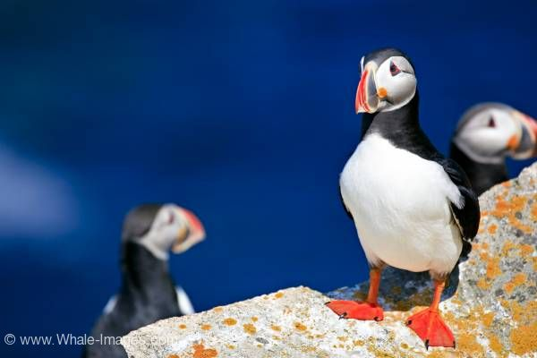 Cute Birds Atlantic Puffins Bird Island Newfoundland