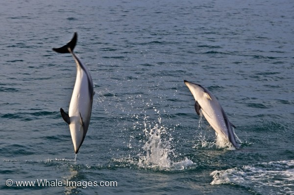 Dusky Dolphins Picture
