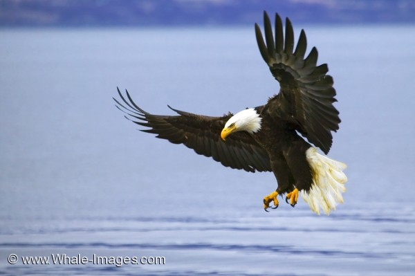 Bald Eagle With Spread Wings Fishing