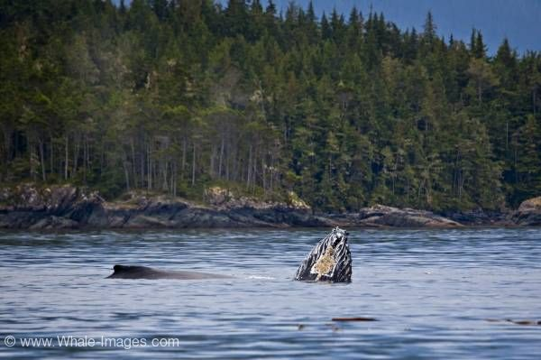 Mother and baby playing humpback whales