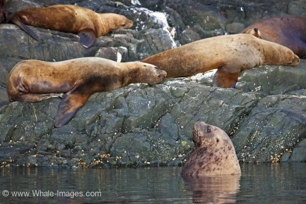 Resting Steller Sea Lions
