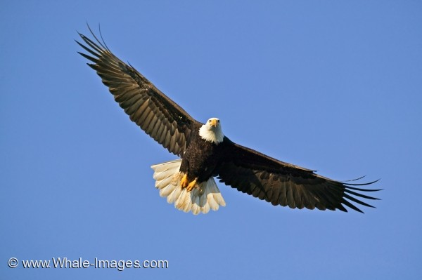 Soaring Bald Eagles