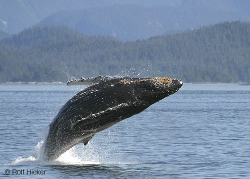 humpback whale facts I humpback whale breaching