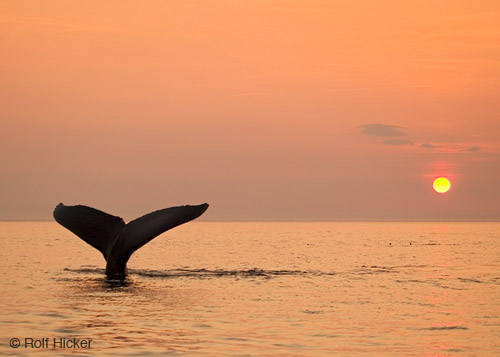 humpback whale facts I whale tail at sunset