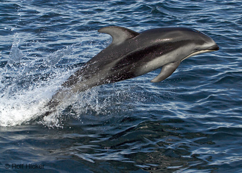 sea creatures dolphin jumping